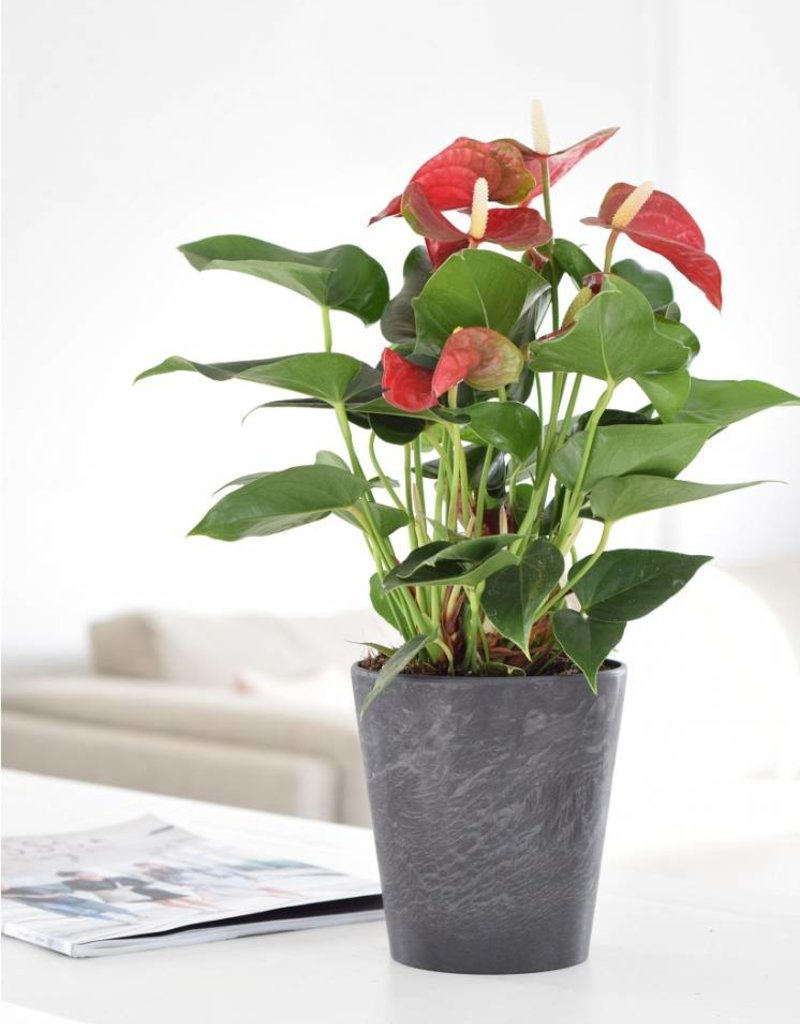 Green Bubble Anthurium Red