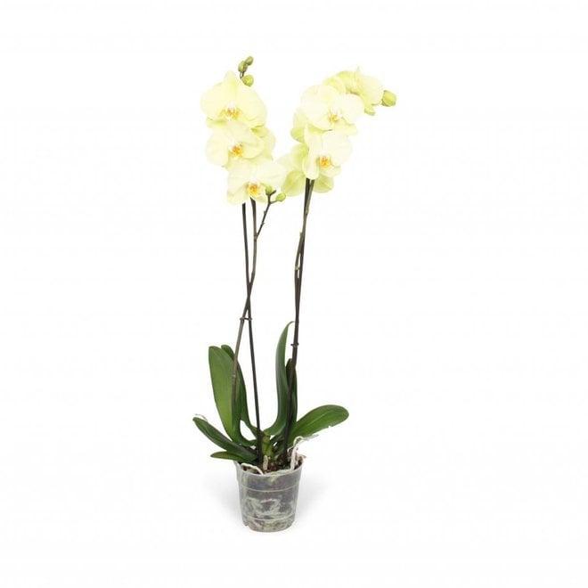 Orchid Honey  (Phalaenopsis) - 70cm