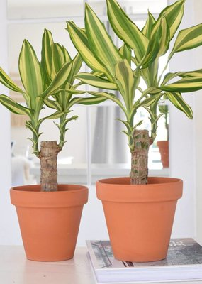 2x Dracaena Yellow Coast Ø11cm