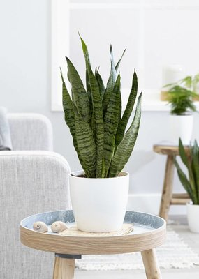 Green Bubble Sansevieria Zeylanica