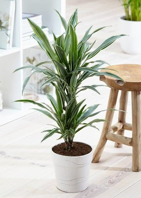 Green Bubble Dracaena White Stripe