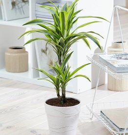 Green Bubble Dracaena lemon Lime