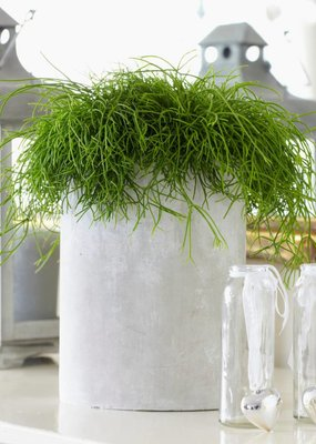 Green Bubble Rhipsalis