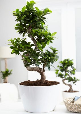 Green Bubble Ficus Gin Seng Bonsai