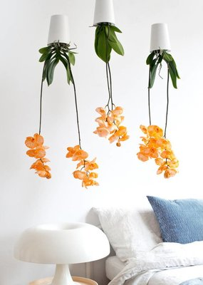 Colorchid Exclusive Oranje orchidee