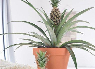 Ananasplant (Bromelia)