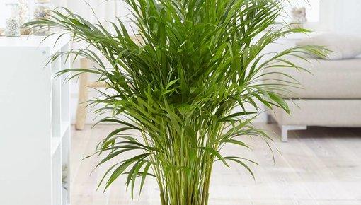 Palm soorten