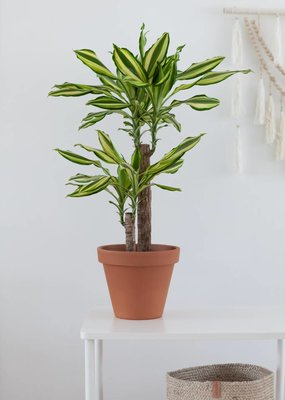 Dracaena Yellow Coast Ø17cm