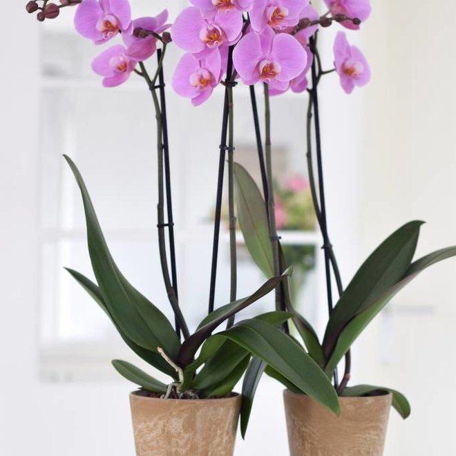 Woodstock orchidee (Phalaenopsis) - 70cm