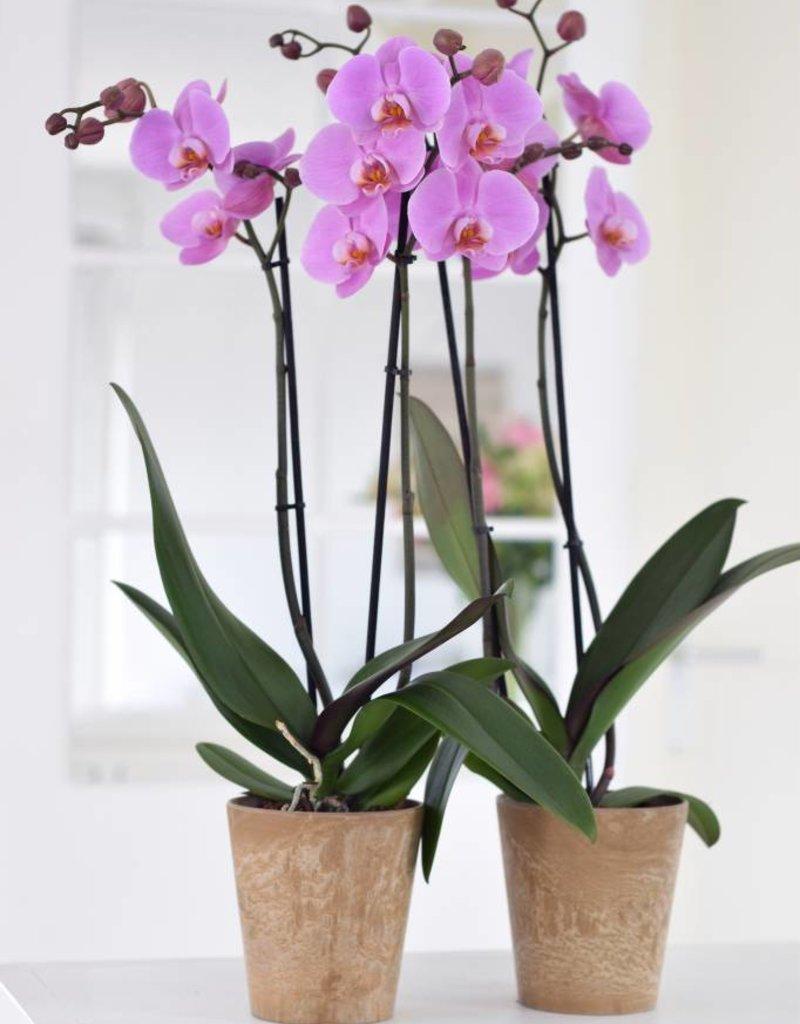 Roze orchidee Woodstock