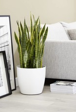Green Bubble 3x Sansevieria Laurentie