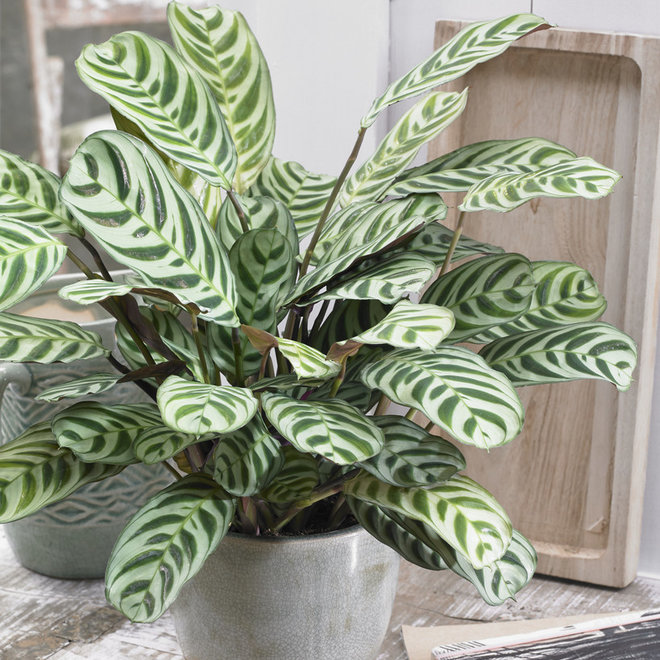 Green Bubble Ctenanthe Burle Marxii - 40cm
