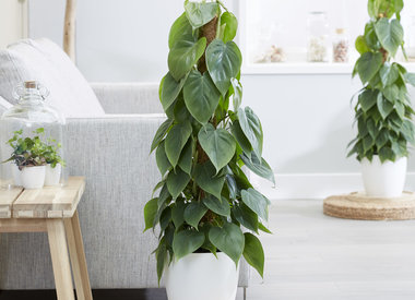 Verzorging Philodendron