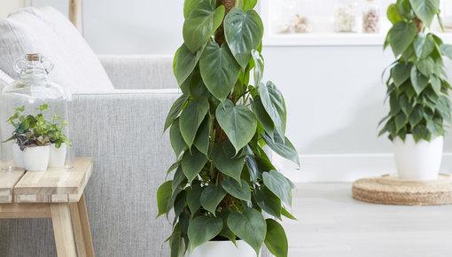 Onze Philodendron planten