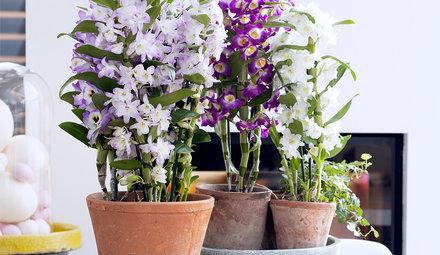 Dendrobium buy