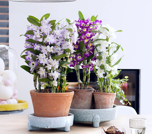 When you buy a Dendrobium from us, you get a special orchid. Choose from a variety of special houseplants.