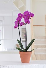 Green Bubble Roze orchidee Fame