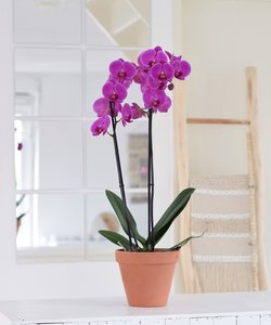 Orchidee Fame
