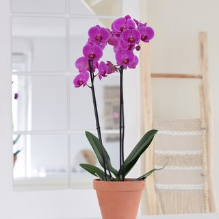 Fame orchid