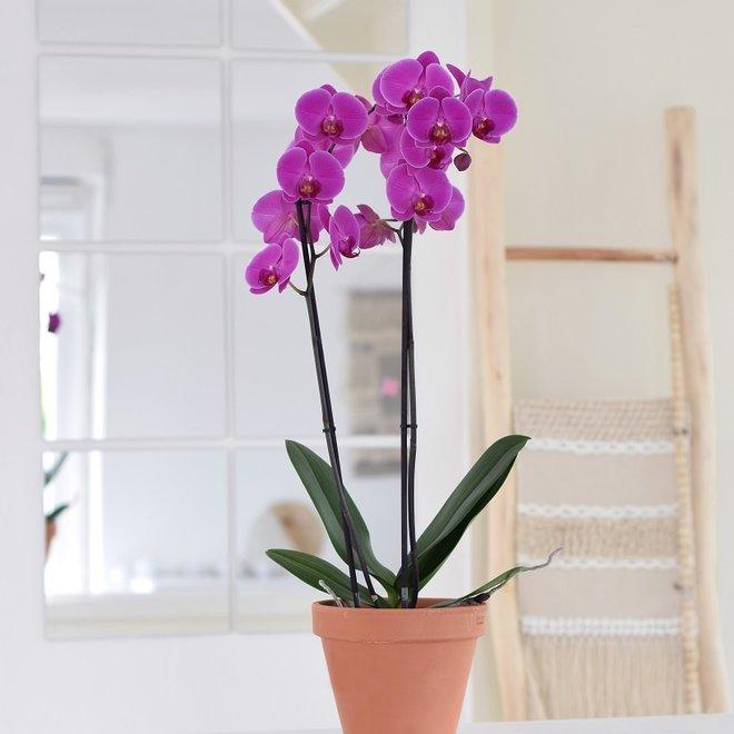 Fame orchidee (Phalaenopsis) - 70cm