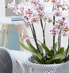 Green Bubble Orchidee Sprinkle