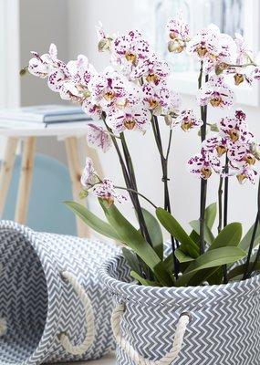 Orchidee Sprinkle