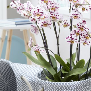 Orchidee Sprinkle