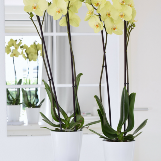 2x Yara orchidee in pot