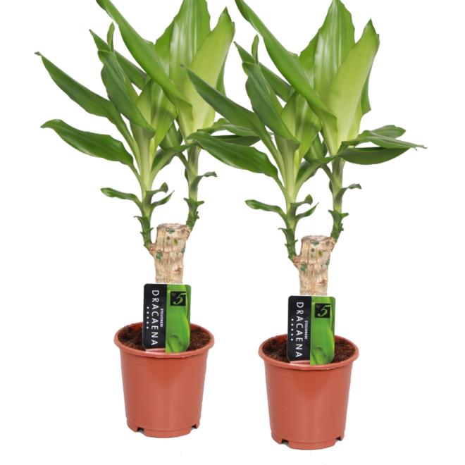 2x Dracaena Green - 40cm