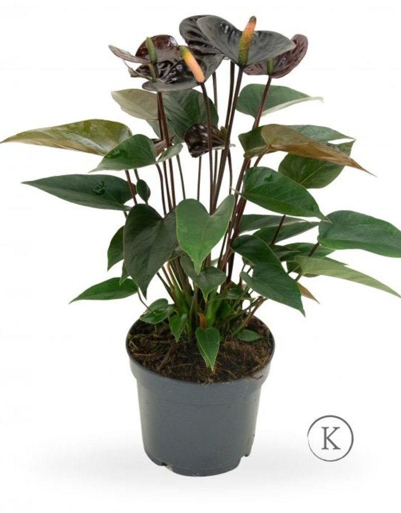 Green Bubble Anthurium Black