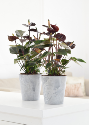 Anthurium Black