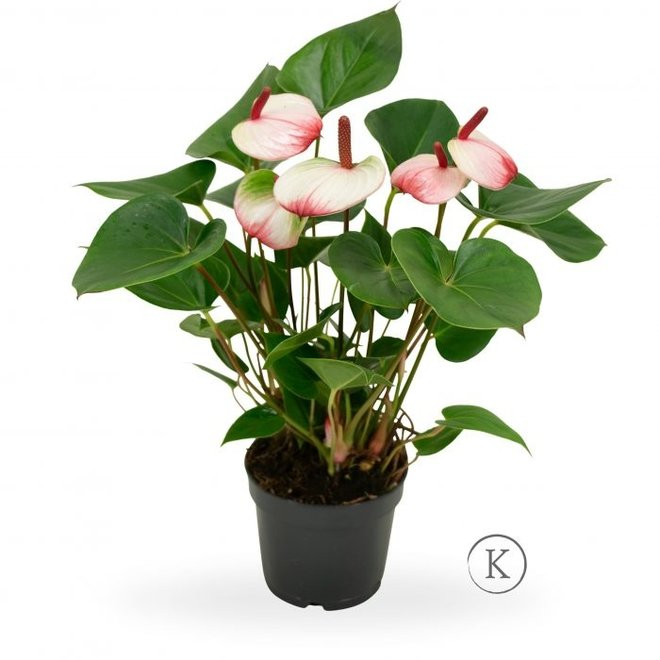 Anthurium Sweetlips - 40cm