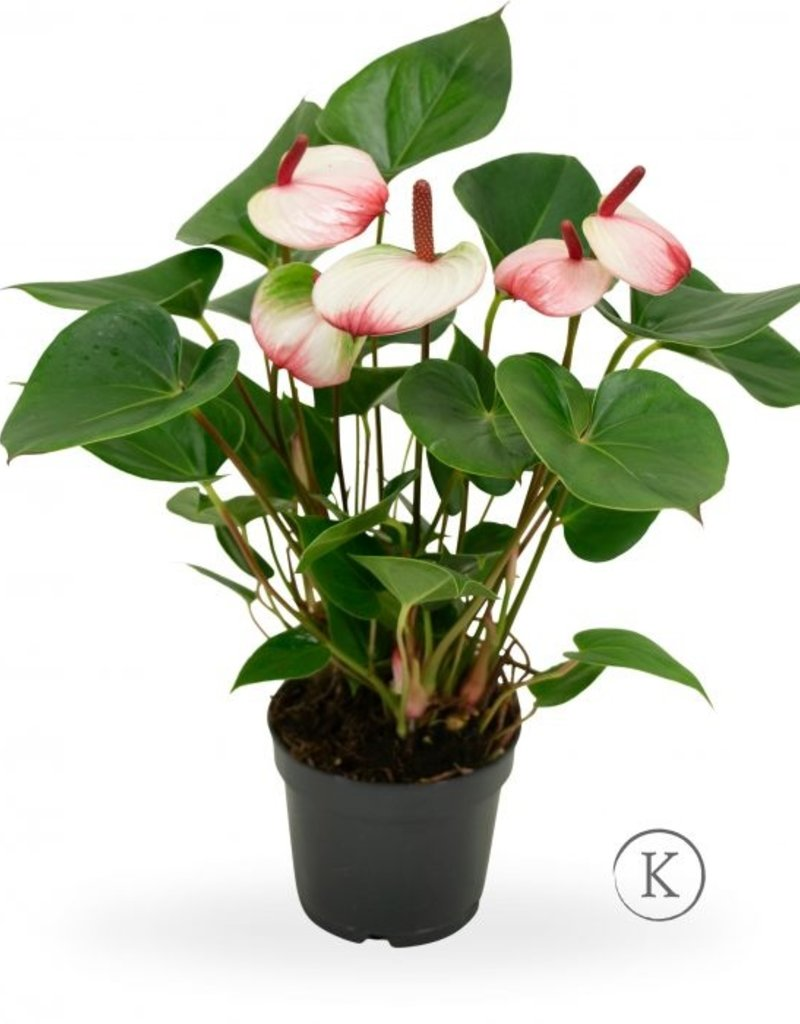 Green Bubble Anthurium Sweetlips