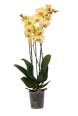 Gele orchidee Fresh