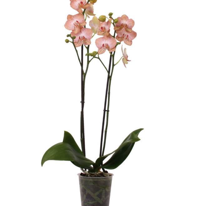 Green Bubble Peach orchidee (Phalaenopsis) - 70cm
