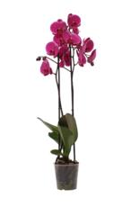 Donkerroze orchidee Joyride