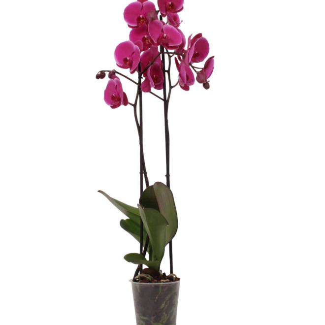 Joyride orchidee (Phalaenopsis) - 70cm