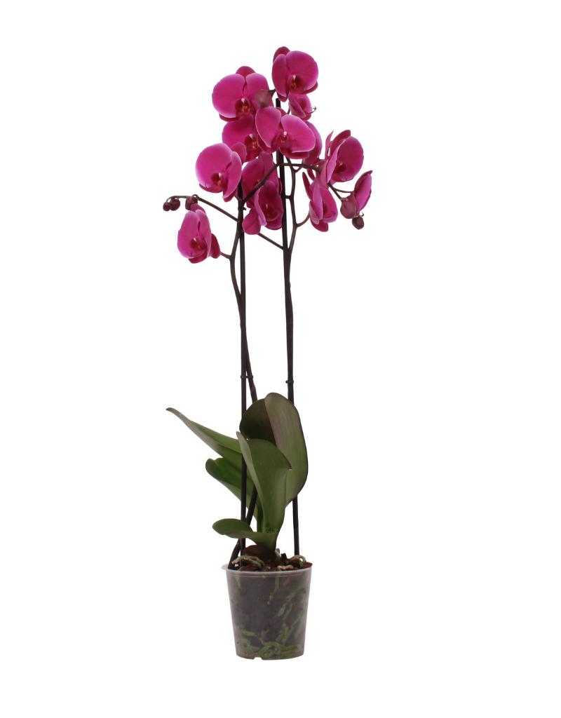 Green Bubble Donkerroze orchidee Joyride
