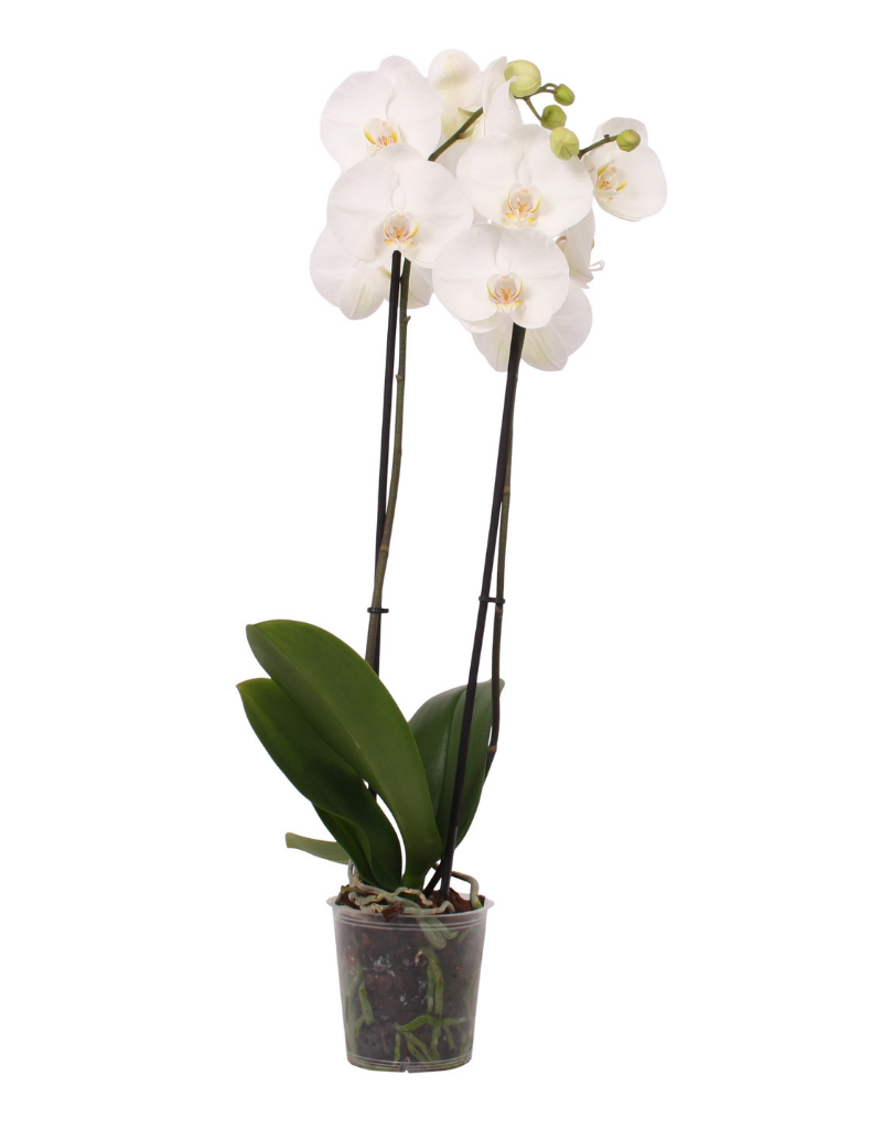 White World orchidee