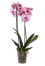 Green Bubble Roze orchidee Crush