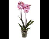 Crush orchid