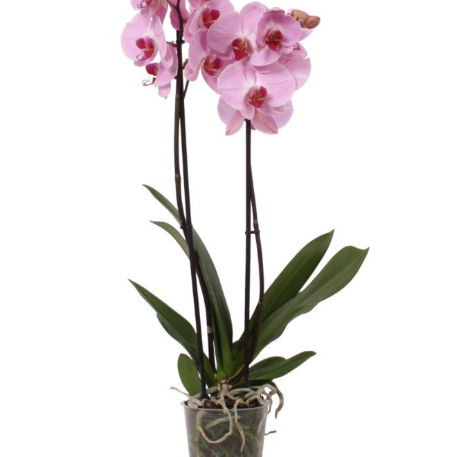 Orchidee Crush (Phalaenopsis) - 70cm