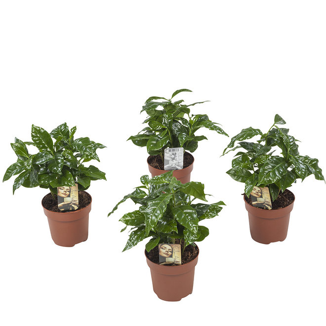 4x Coffee plant - 25cm