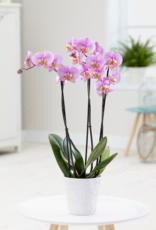 Roze orchidee Blush