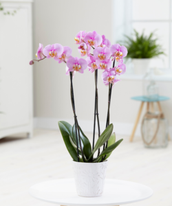 Orchidee Blush