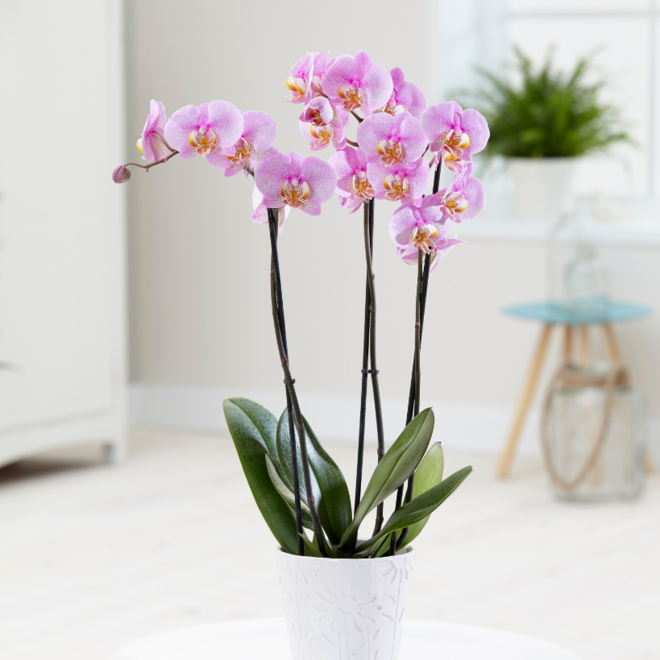 Green Bubble Blush orchidee (Phalaenopsis) - 70cm