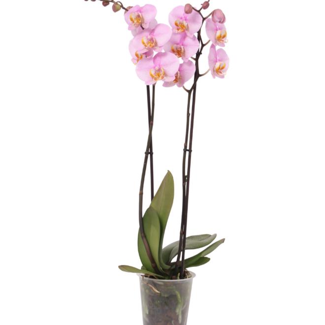 Blush orchidee (Phalaenopsis) - 70cm