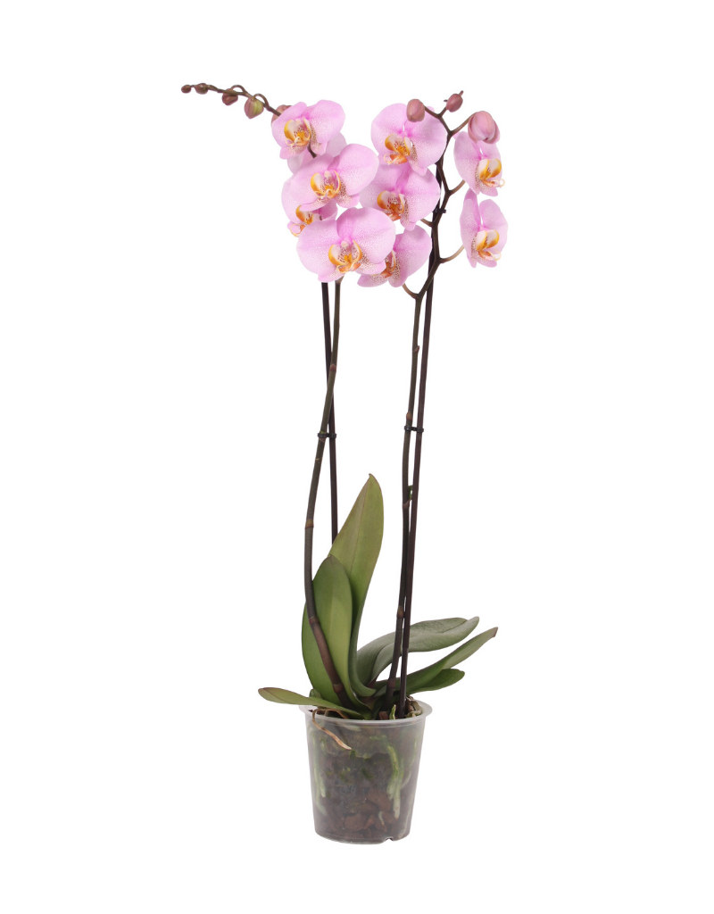 Green Bubble Roze orchidee Blush