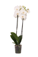 Green Bubble Witte orchidee Leeds