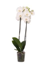 Witte orchidee Leeds